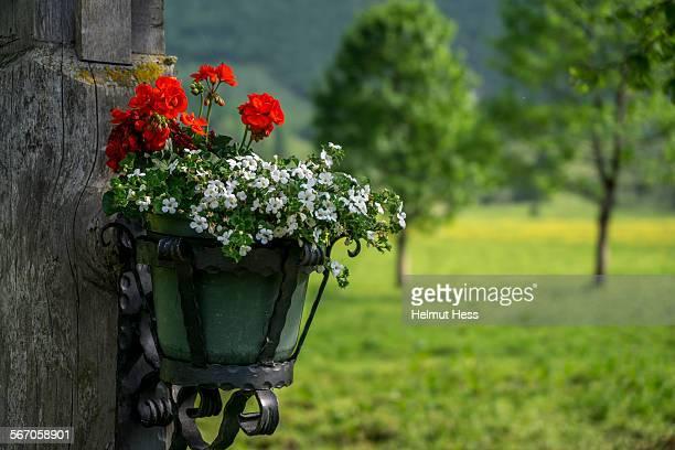 Flowerpot with red geraniums