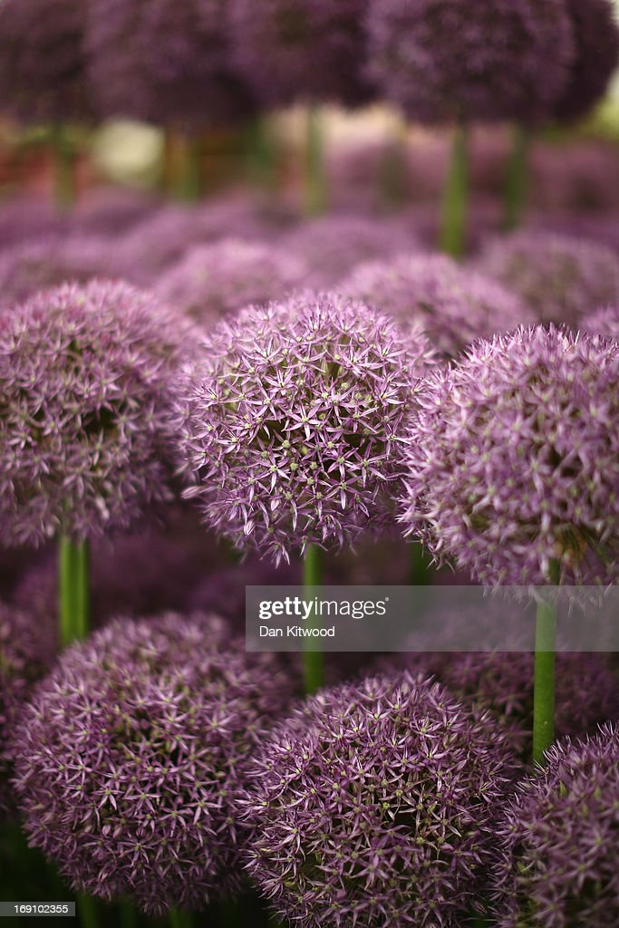 Flowers are displayed during the Chelsea Flower Show on May 20, 2013 in London, England. The Chelsea Flower Show run by the Royal Horticultural Society celebrates its 100th birthday this year.