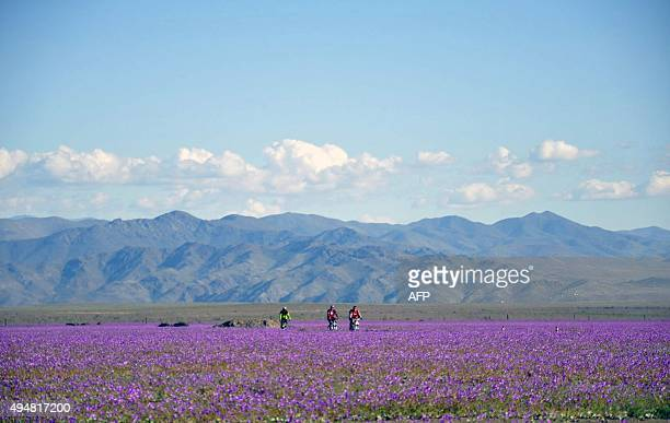 Flowers bloom at the Huasco region on the Atacama desert some 600 km north of Santiago on November 27 2015 A gigantic mantle of multicolored flowers...