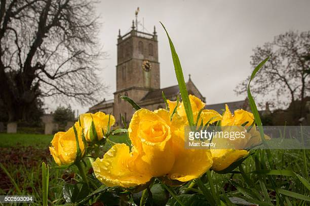 Flowers bloom in the churchyard of St Luke and St Andrew church in the village of Priston on December 27 2015 near Bath England As areas of the North...