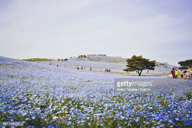 Flowers Blooming At Hitachi Seaside Park Against Sky