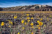 Flowers blooming in Death valley