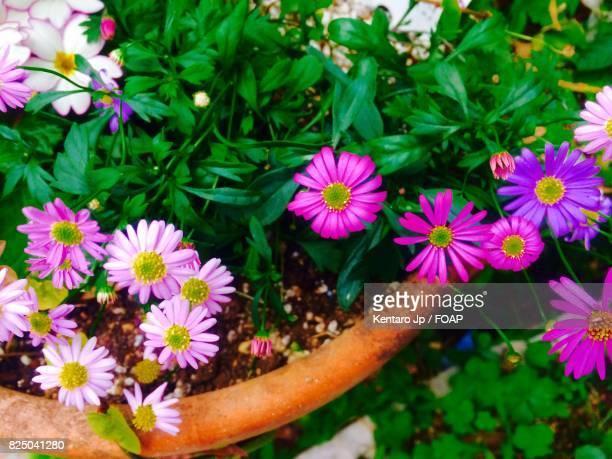 Flowers blooming in pots