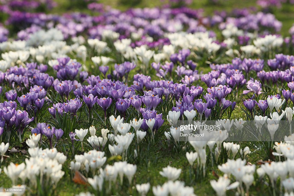 Flowers catch the sunshine in St James's Park on March 1, 2012 in London, England. After a recent cold snap Britain is expected to see a short period of unseasonably mild weather following one of the driest February's on record according to the Met Office.