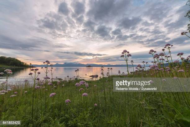 Flowers frame the sea Vidrek Ofotfjorden Norway