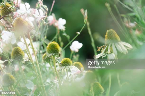 Flowers. Gaura and Eryngium