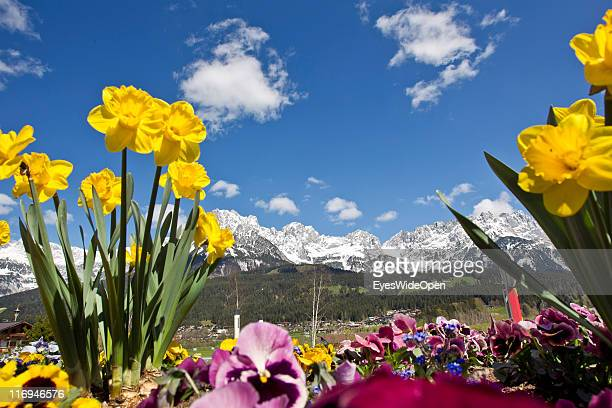 Flowers grow in a field backdropped by the peaks of the Wilder Kaiser mountains on April 15 2011 in Going Austria Going is located next to the...