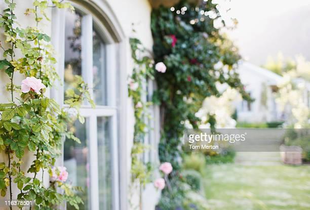 Croissance des fleurs sur le mur de maison
