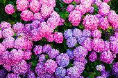 groups of hydrangea blossom with vibrant colors.