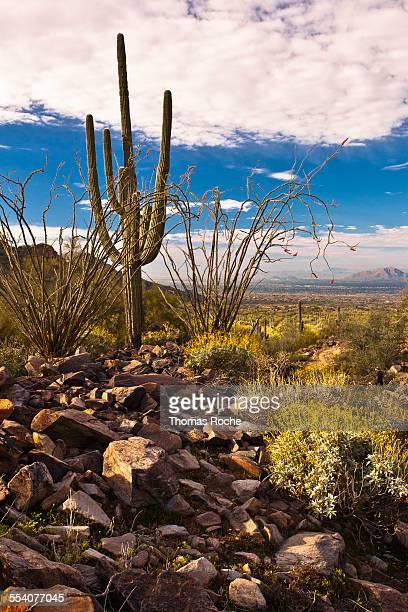 Flowers in a rocky landsacpe in the Sonoran Desert