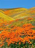 Flowers in antelope valley