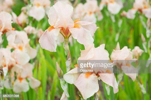 Flowers Irises : Stock Photo