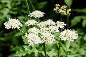 Flowers of a cow parsley plant in a field