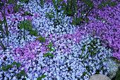 Flowers of creeping Phlox, carpeted, styloid, ground cover, blooming, Цветы флокса стелющегося, коврового, шиловидного, почвопокровного,