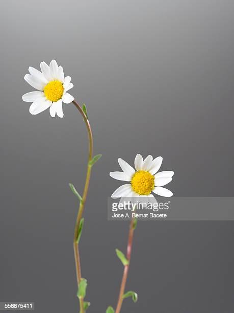 Flowers of daisy