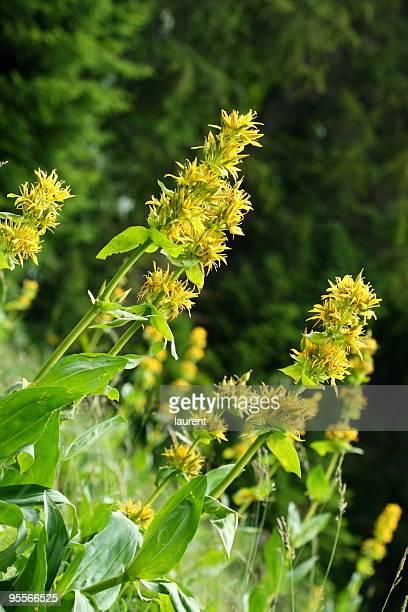 Blumen der Herbstenzian in Haut-Jura, Frankreich