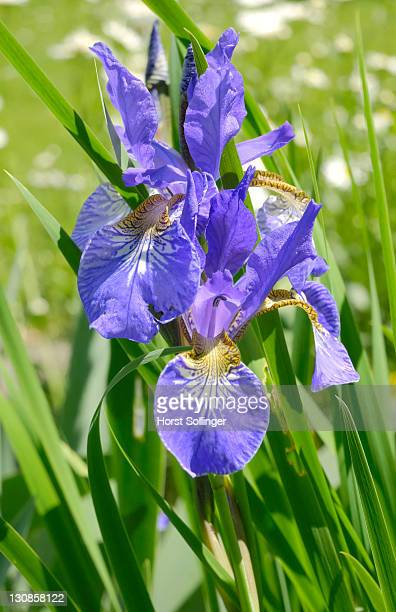 Flowers of iris sibirica, Iridaceae
