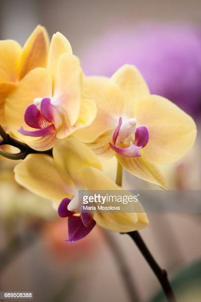 Flowers of Phalaenopsos Orchid Fangmei Sweet 'Canary'