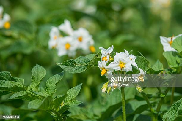 Flowers of potato plants