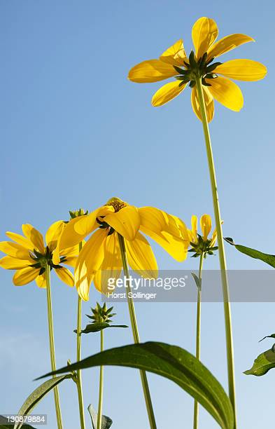 Flowers of rudbeckia nitida, Asteraceae