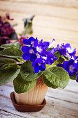 Flowers of Saintpaulia African Violet houseplant