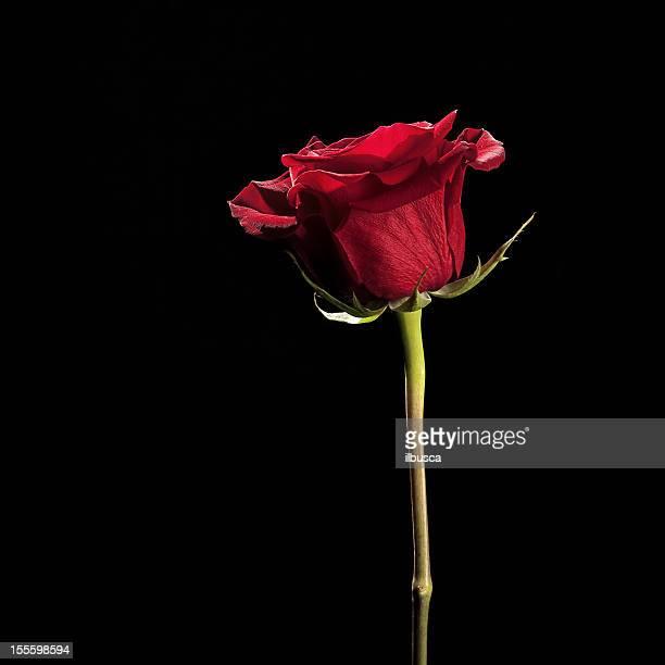 Flores sobre Preto com cópia espaço série: Rosa vermelha