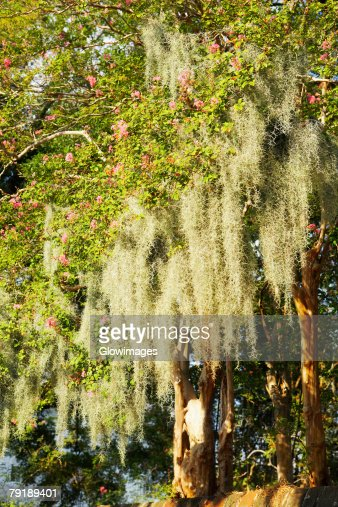 Flowers on branches of a tree, Charleston, South Carolina, USA : Foto de stock