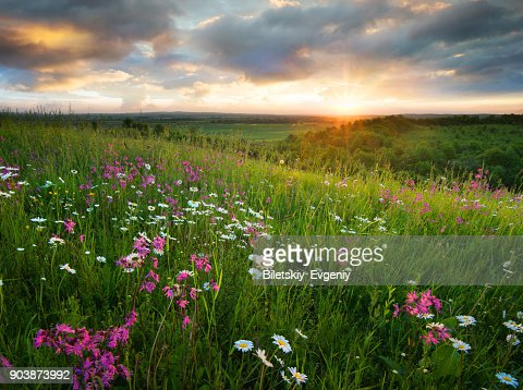Flowers on the mountain field during sunrise. Beautiful natural landscape in the summer time : Foto stock