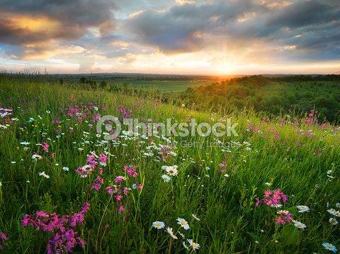 サンライズ中のマウンテン フィールド上の花。夏には、美しい自然の風景 : ストックフォト