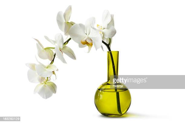 Flowers: Orchid in Vase