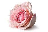Flowers: Rose