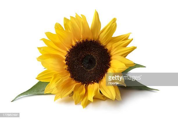 Flores: Girasol