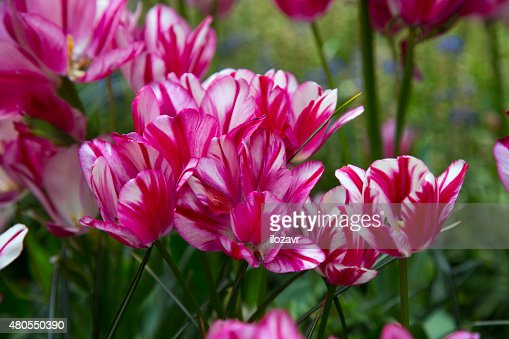 flowers tulips : Stock Photo