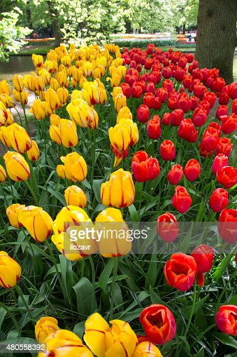 flowers tulips : Stock Photo