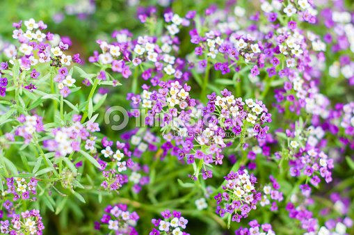 Flowers With Small Purple White And Yellow Blossoms Stock Photo