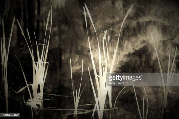 Flowing shapes of Bulrush Reeds in woodland pond