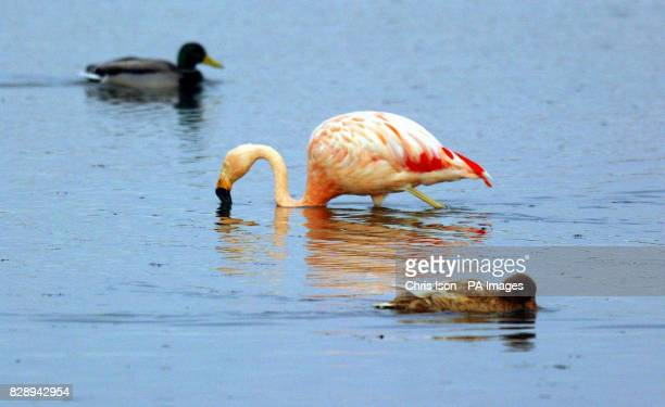 Fluffy a Chilean Flamingo strikes a lonely pose at the Tichfield Haven nature reserve in Hampshire Staff at the councilrun sanctuary believe the sole...