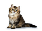 Fluffy British Longhair cat isolated on white background