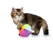 Fluffy British Longhair kitten isolated on white background