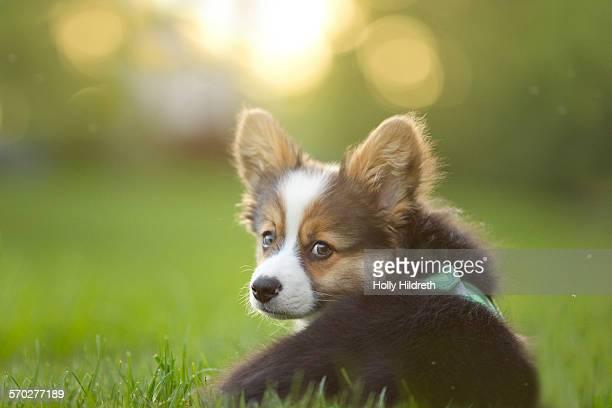 Fluffy corgi puppy looks back