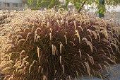 Fluffy grass bush at sunrise