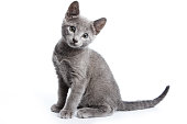 Fluffy gray kitten of a Russian blue cat (isolated on white)