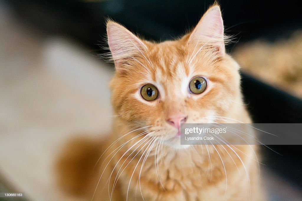 A fluffy orange cat looking at the camera : Stock Photo