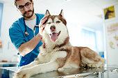 Veterinarian cuddling husky dog in clinics