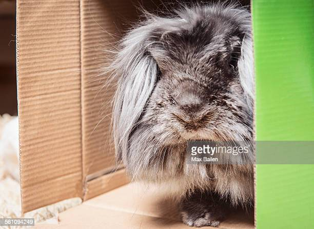 Fluffy rabbit peering out of cardboard box