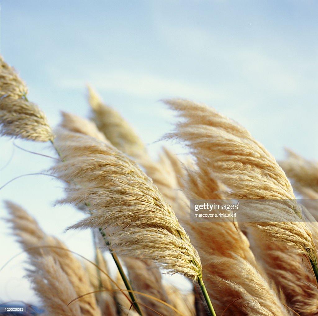 Flauschige reed-weiche, schöne Pflanzen im wind : Stock-Foto