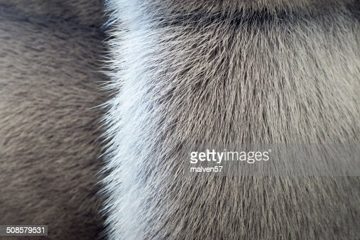 fluffy texture of fur wild animals with a strip : Stock Photo