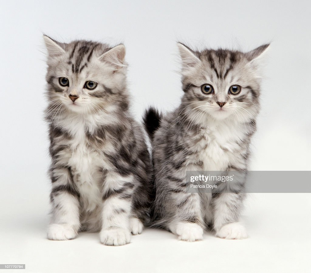 2 Fluffy white and grey kittens : Stock Photo