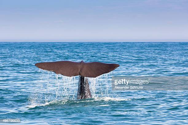 Fluke of a Sperm Whale -Physeter macrocephalus- while diving, Kaikoura, Canterbury Region, New Zealand