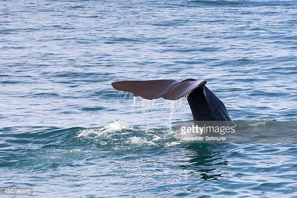 Fluke of a Sperm Whale -Physeter macrocephalus- while diving, Kaikoura, Canterbury Region, New Zealand